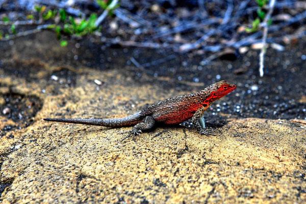 Ein Galapagos Lizzard. Auch diese sehen auf jeder Insel etwas unterschiedlich aus.