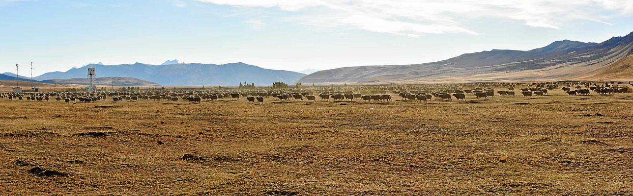 Direkt an der chilenischen Grenze dann endlich mal Schafe.