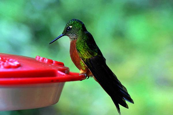 Und immer wieder begeistern die Kolibries.
