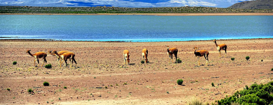 Es gibt mehrere Seen und immer mal wieder Vicunas zu sehen.