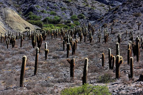 Kandelaberkakteen im Tal des Rio Pumamarca.