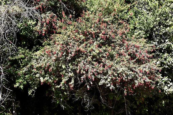 Chile ist Fuchsienland. Es gibt unendlich viele Fuchsienbüsche und -hecken. Und dazu unendlich viele Kolibiries, die von Blüte zu Blüte huschen.