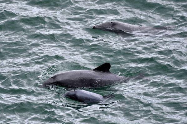 Delphine jagen direkt unterhalb meines Mittagspausenplatzes.