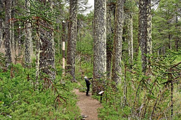 Die Araukarien können 50 m hoch werden mit 2 m Stammdurchmesser.