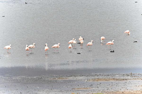 Flamingos am See Chungará, Vögel nisten zum Teil auf Plastik.