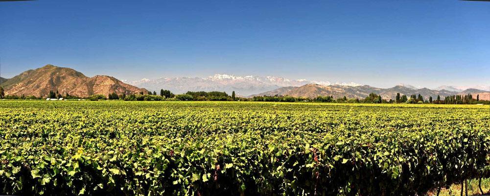 Überall Wein und am Horizont die schneebedeckten Berge.