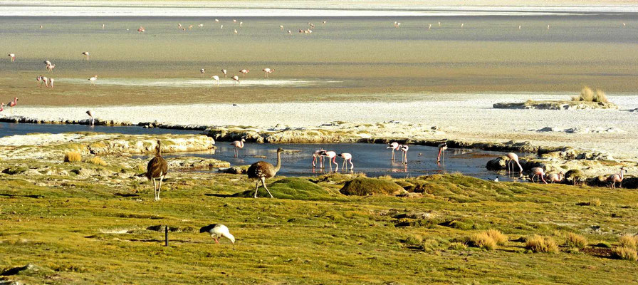 Flamingos und Nandus am Salzsee. leider sind die Flamingos sehr scheu und man kommt nicht näher an sie heran.