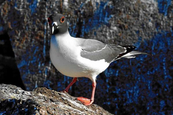 Dito - die Gabelschwanzmöwe, auf Galapagos sehr verbreitet.