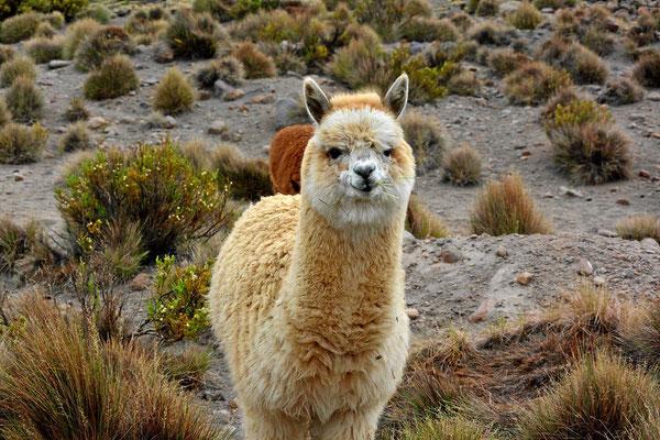 Am Übernachtungsplatz schauen uns die Lamas zu.