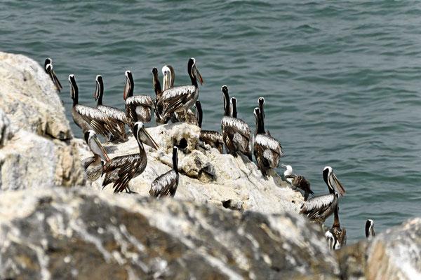 Endlich sehen wir mal wieder Seevögel (hier Pelikane). Wir sehen leider auch, wie zwei Chilenen die Vogelnester plündern.