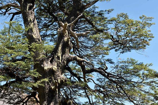 Es sind knorrige teilweise uralt Bäume voller Bärte.