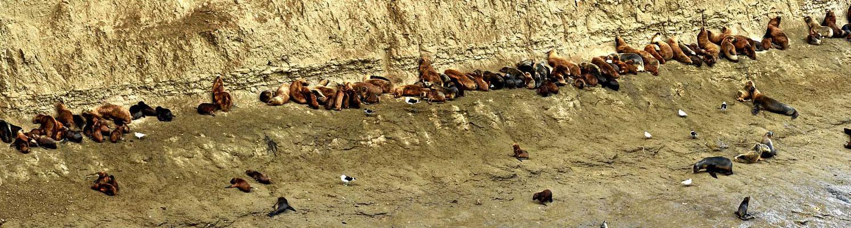 Die Seelöwenkolonie von Punta Piramides. Manchmal sind gibt es hier mehrere tausend Seelöwen.