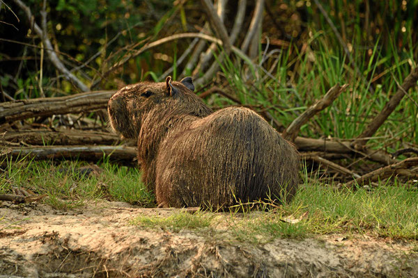 Die Cabibaras, die Wasserschweine, verwand mit den Ratten.