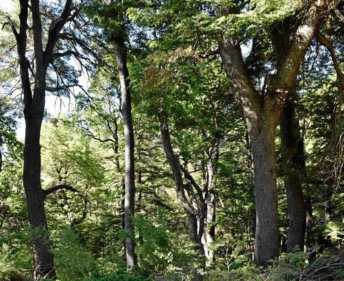 Wir wandern durch einen uralten Märchenwald.