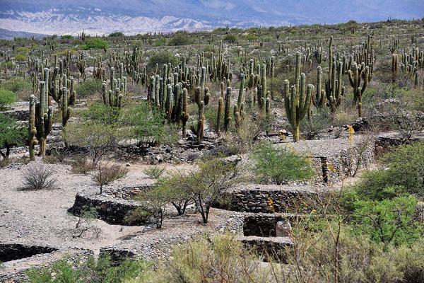 Die Ruinen zusammen mit den unzähligen Kandelaberkakteen ergibt eine sehr stimmungsvollen Eindruck.