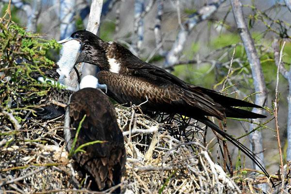 Das Junge kriecht dabei fast in den Schlund des Fregattvogels hinein.