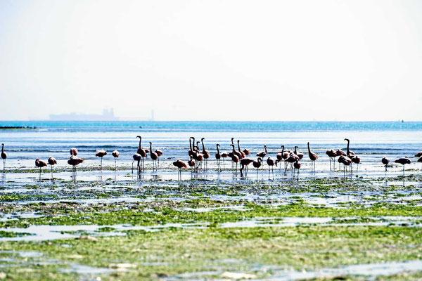 Flamingos in der Bucht bei Pisco.