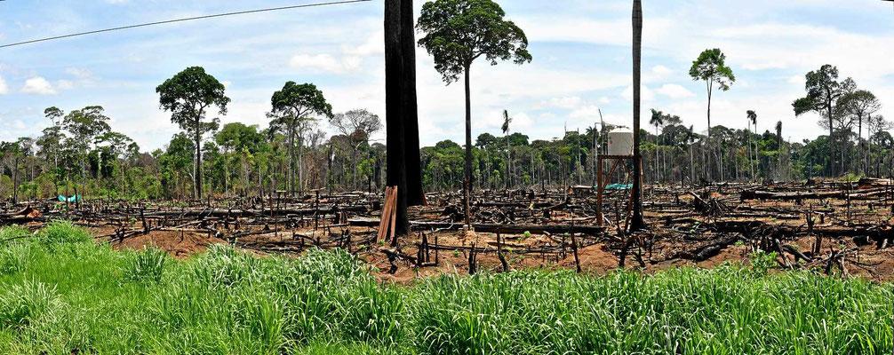 """Überall wird der Urwald abgeholzt zwecks """"Landgewinnung"""""""