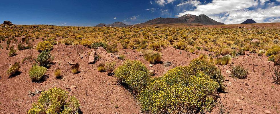 Die Wüste blüht.