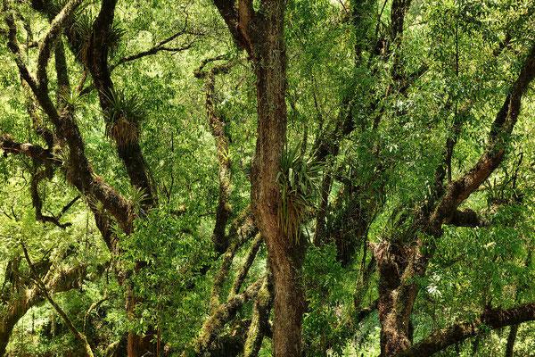 Moosbewachsenen Bäume.