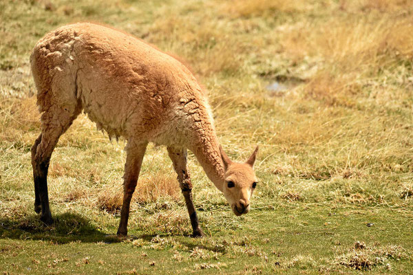 Weit und breit gibt es nichts zu essen, nur hier. So lassen einen die Tiere mal etwas näher heran.