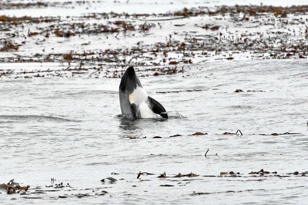 Auch am Strand von Santa Barabara sehen wir den Delphinen zu, hier lugt einer heraus, was wir wohl machen?