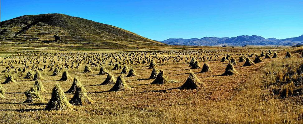 Überall Getreidebüschel zum Trocknen, alles per Handarbeit aufgerichtet.