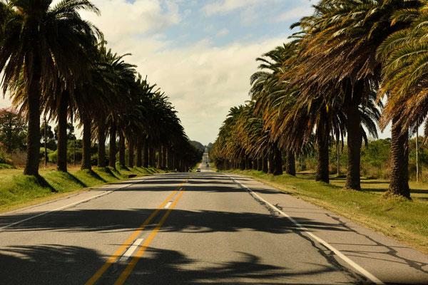 Verlässt man Colonia, fährt man erst einmal durch eine endlos lange Palmenallee.