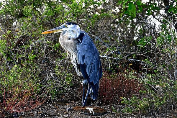 """Der """"great blue heron"""" auf Galapagos."""