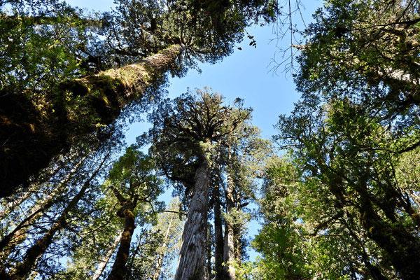 Wie fotografiert man 50 m hohe Bäume???