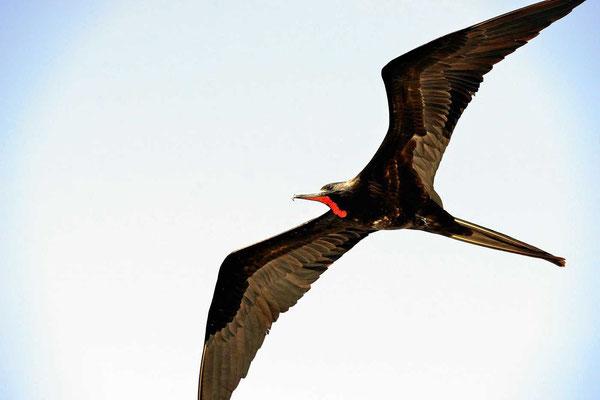 Ein männlicher Fregattvogel im Flug, gut erkennbar am roten Kehlsack.