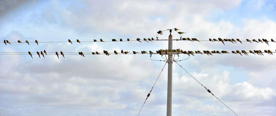 Papageienpause auf Stromleitungen.