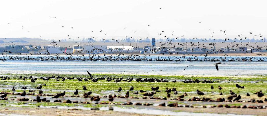 Das Wasser ist schwarz vor Seevögel.
