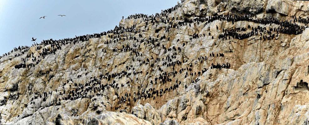 Endlich mal eine Vogelinsel mit tausenden von Lummen.