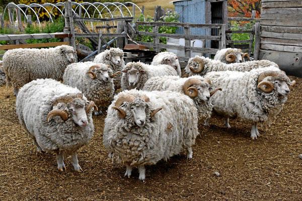 Die Schafe hier sind herrlich.