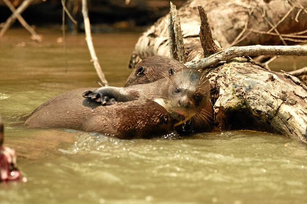 Eine Ottermutter säugt ihr Junges.