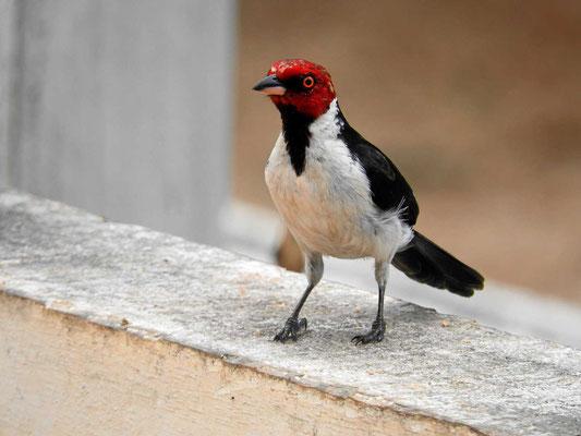 Ein Kardinalsvogel