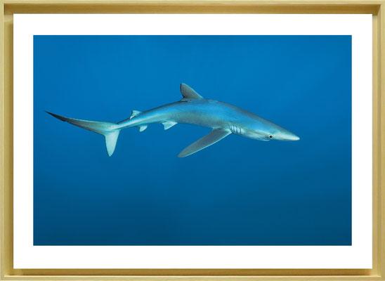 P04 - Requin peau bleue