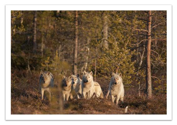 Ref T07 - Meute de loups