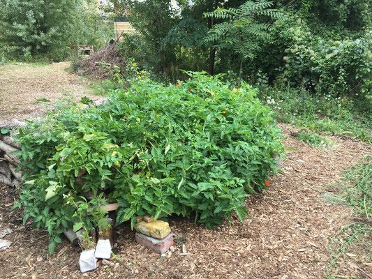 Tomaten pflanzen nur regen