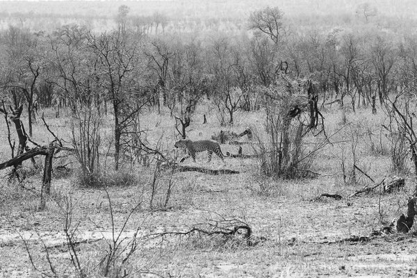 Safari in South Africas Greater Kruger National Park. Wildlife - Animals