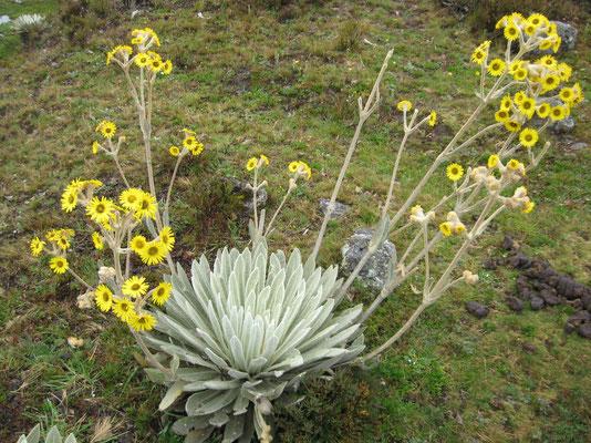 Reuze Edelweiss