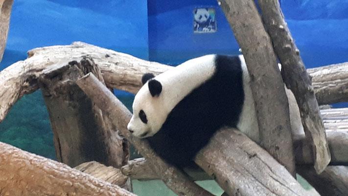 Panda's in Taipei Zoo