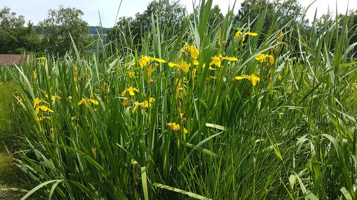 Iris pseudacorus (Sumpf-Schwertlilie)