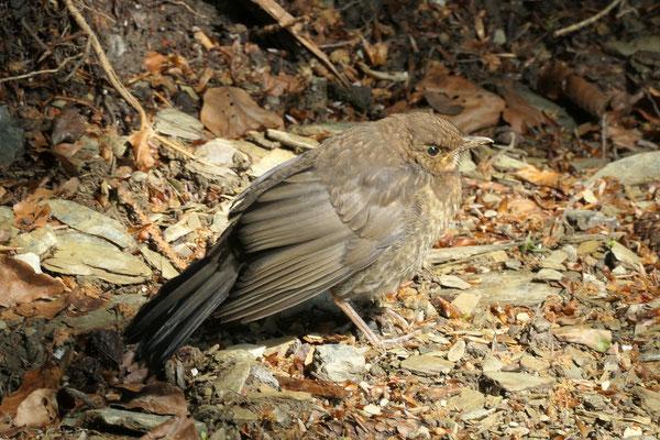 Amsel-Weibchen Jungvogel