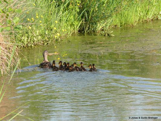 Wieder freigelassene Entenfamilie in einem Gewässer in Stadtnähe
