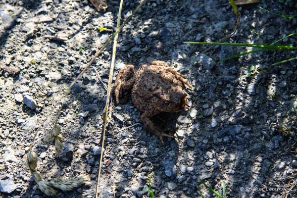 Mama Erdkröte schaut nach den Kleinen