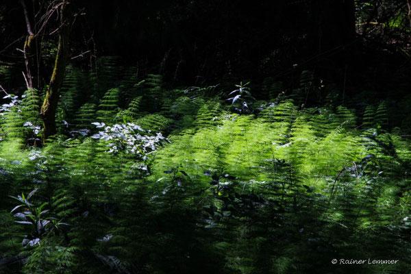 Wald Schachtelhalm Wald