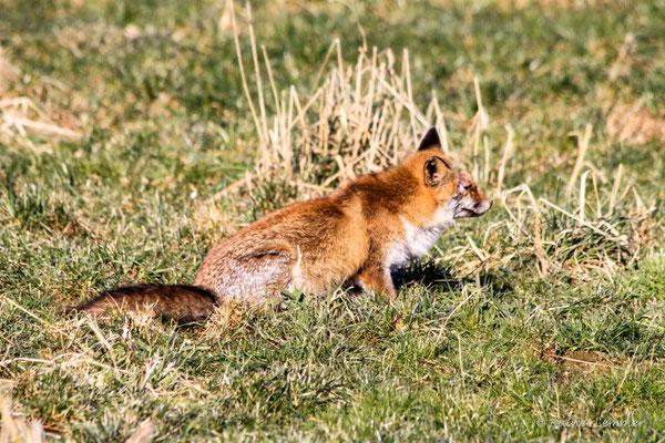 Fuchs in Lauerstellung