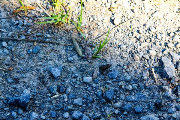 Krötenwanderung - viele kleine erdkröten sind geschlüpft